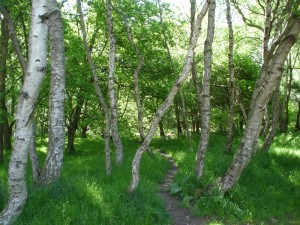 A greenwood glade in Sherwood Forest